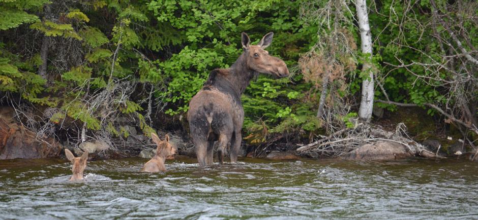slider-moose